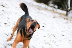 Cão irritado com dentes descobertos foto de stock