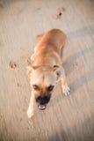 Cão irritado com dentes descobertos Imagens de Stock Royalty Free