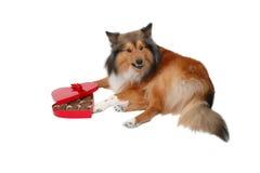 Cão irritado do dia de Valentim Imagens de Stock