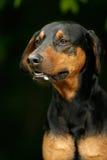 Cão irritado do doberman foto de stock royalty free
