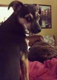 Cão irritado, olhando para trás sobre seu ombro Imagem de Stock