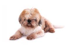 Cão isolado no branco Fotografia de Stock Royalty Free