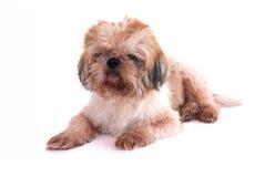 Cão isolado no branco Imagens de Stock Royalty Free