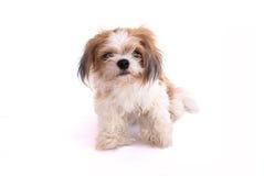 Cão isolado no branco Fotos de Stock Royalty Free