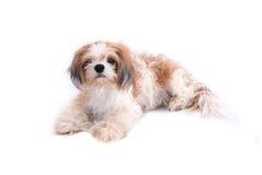 Cão isolado no branco Fotos de Stock