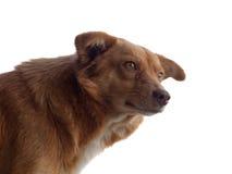 Cão isolado no branco Fotografia de Stock
