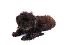 Cão isolado no fundo branco Fotos de Stock Royalty Free
