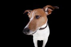 Cão isolado no preto Fotografia de Stock Royalty Free