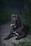 Cão italiano do bastão-corso Imagens de Stock