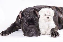Cão italiano do bastão-corso e o cachorrinho de maltês no fundo branco Foto de Stock