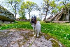 Cão júnior do papillon em Beglik Tash - formação de rocha da natureza, um santuário pré-histórico da rocha Foto de Stock Royalty Free