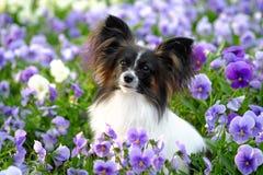 Cão júnior do papillon que senta-se nas flores Imagem de Stock Royalty Free