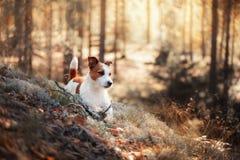 Cão Jack Russel Fotografia de Stock Royalty Free