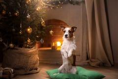 Cão Jack Russel Estação 2017 do Natal, ano novo Fotografia de Stock Royalty Free