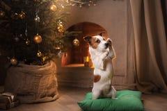 Cão Jack Russel Estação 2017 do Natal, ano novo Imagens de Stock