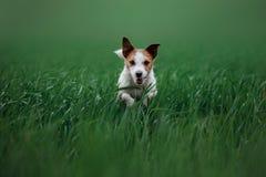 Cão Jack Russell Terrier que corre na grama Fotos de Stock Royalty Free