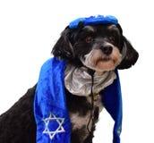 Cão judaico de Havanese vestido por feriados imagens de stock