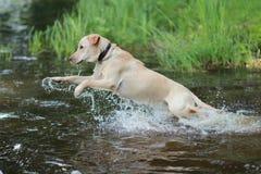 Cão Labrador Fotografia de Stock