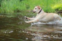 Cão Labrador Imagem de Stock Royalty Free