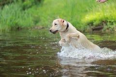 Cão Labrador Imagens de Stock