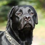 Cão Labrador preto Imagem de Stock Royalty Free