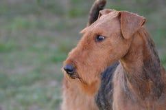 Cão lindo de Airedale Terrier Fotos de Stock Royalty Free