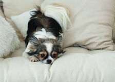 Cão Longhair da chihuahua no revestimento decorativo de matéria têxtil clara para uma cama moderna na casa ou no hotel Imagens de Stock Royalty Free