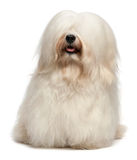 Cão longo bonito de Havanese do creme do cabelo Imagens de Stock