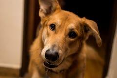 Cão louro bonito e curioso fotos de stock royalty free