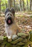 Cão louro de Briard na floresta da queda Imagens de Stock Royalty Free