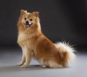 Cão médio alemão do spitz Fotografia de Stock Royalty Free