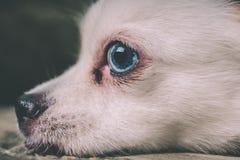 Cão macio branco fresco que descansa em um sofá verde Spitz alemão com olhos azuis foto de stock royalty free