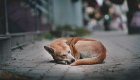 Cão magro que dorme na rua de Thamel, Kathmandu, Nepal Imagens de Stock