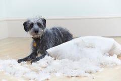 Cão mal comportado que rasga acima o coxim em casa imagem de stock