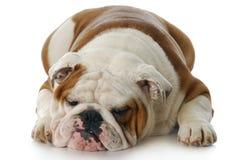Cão mal-humorado Fotografia de Stock