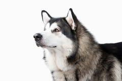 Cão Malamute do Alasca no fundo branco fotos de stock