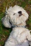Cão maltês Foto de Stock
