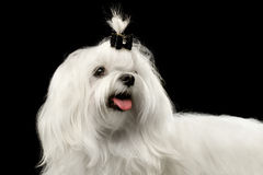 Cão maltês branco de sorriso do close up que olha isolado acima no preto Imagens de Stock