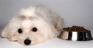Cão maltês com Fotos de Stock Royalty Free
