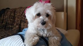 Cão maltês da raça, cão branco com revestimento de seda fotografia de stock