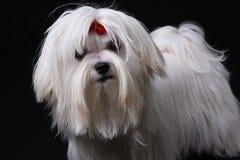 Cão maltês no preto foto de stock royalty free