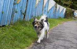 Cão manchado Fotografia de Stock