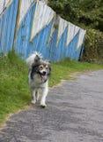 Cão manchado Imagem de Stock Royalty Free