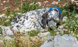 Cão manchado que dorme no colarinho azul vestindo do sol Imagens de Stock Royalty Free