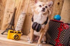 Cão marrom bonito com conceito do curso, material da chihuahua da cor do curso fotografia de stock royalty free