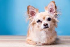 Cão marrom bonito da chihuahua que senta-se no assoalho de madeira foto de stock