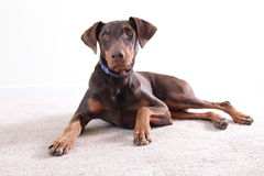 Cão marrom do doberman do retrato Fotografia de Stock Royalty Free