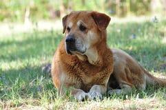 Cão marrom grande Fotografia de Stock