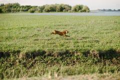 cão marrom que corre através de um campo verde imagem de stock royalty free
