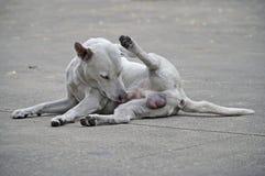 Cão masculino branco e sujo na cor do assoalho do cimento foto de stock